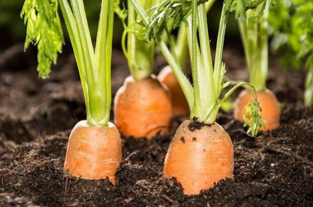 Гряда моркови