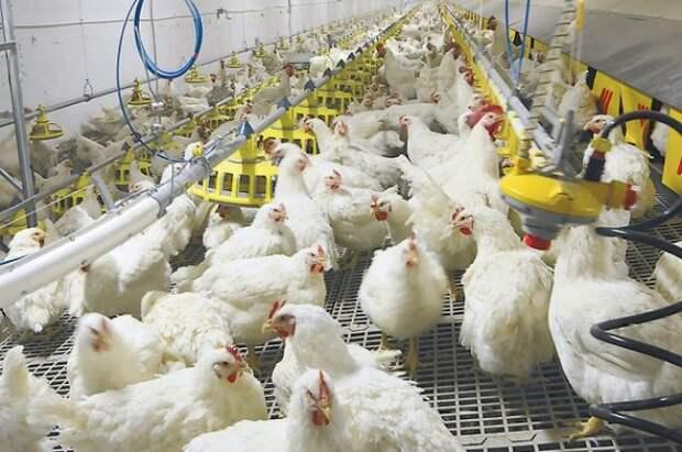 В Польше из-за птичьего гриппа забьют 6 млн кур, гусей и уток