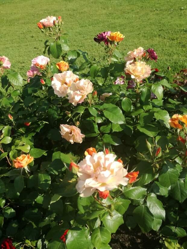 Розы ВДНХ