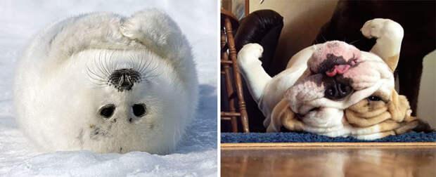 35.  животные, собака, сходство, тюлень