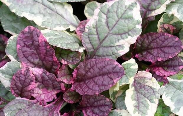 Живучка ползучая многоцветная, фото сайта flores.culturamix.com