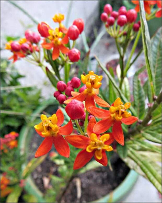 Выращивание ваточника кюрасавского в горшке, в домашних условиях