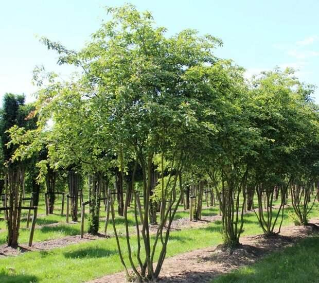 Многоствольные древесные растения
