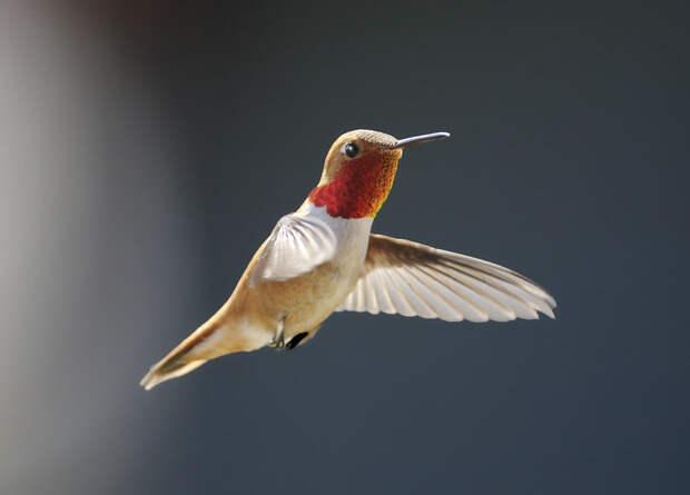 Сроки и маршруты миграции рыжих колибри оказались связаны с полом и возрастом