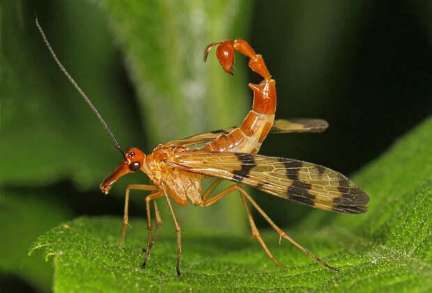 Отряд насекомых, которые называются скорпионницы. животные, интересное, удивительное, фото