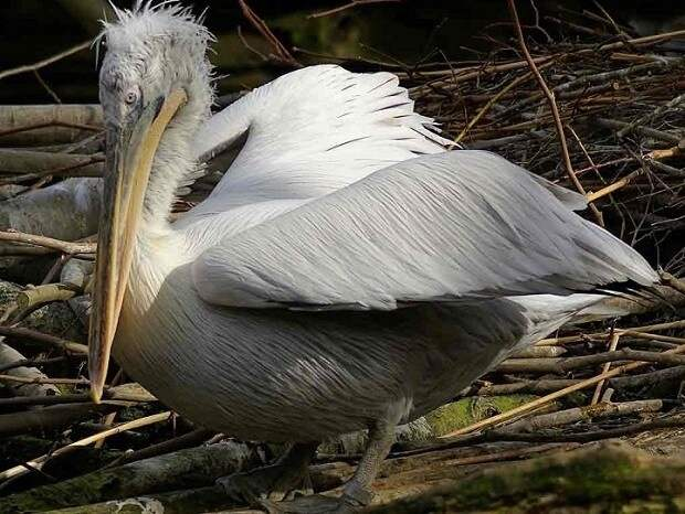 Омской селянке в огород упал кудрявый пеликан