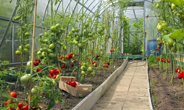 Комплекс профилактических мероприяий против фитофторы в теплице - лучшая защита растений будущего сезона