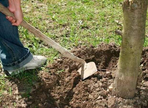 Рыхление почвы в приствольном кругу