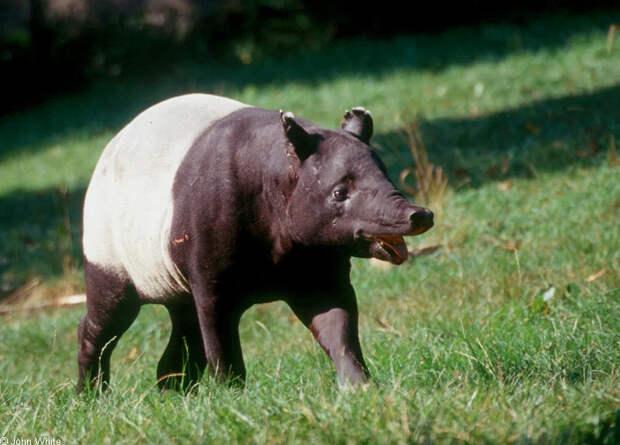 Чепрачный тапир: Тактика против хищников – «превращение в камень». Как это работает?