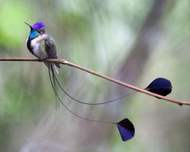 20 колибри крупным планом: удивительная красота крошечных птичек