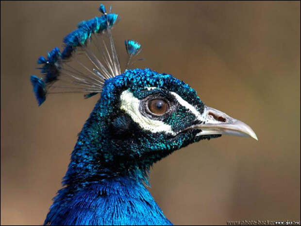 Жар-птица, птица Феникс