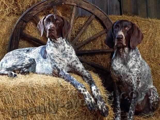 Курцхаар (немецкий пойнтер) самые красивые фотографии собак, породы собак с фотографиями