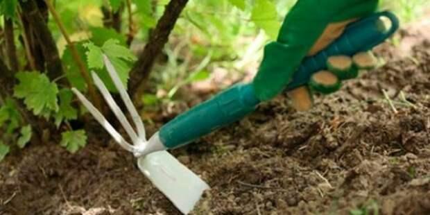 рыхление ремонтантной малины летом