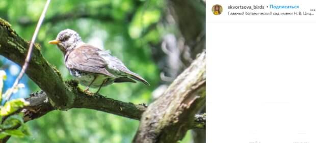 Фото дня: в Ботаническом саду запечатлели дрозда-рябинника