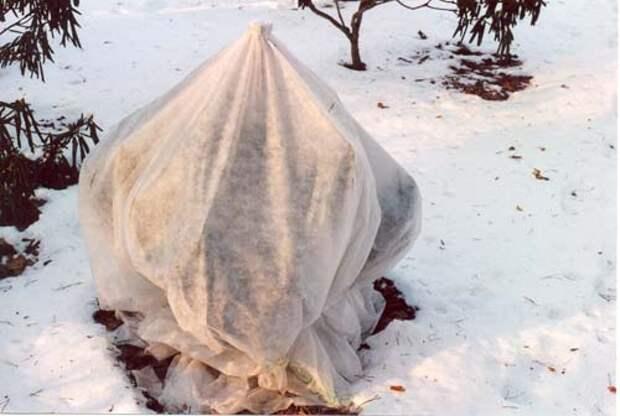 Выясняем, когда открывать рододендрон после зимы