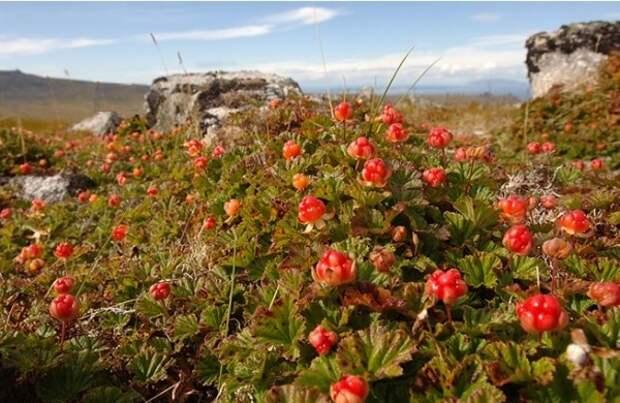 Представители древней арктической цивилизации выводили новые сорта растений.