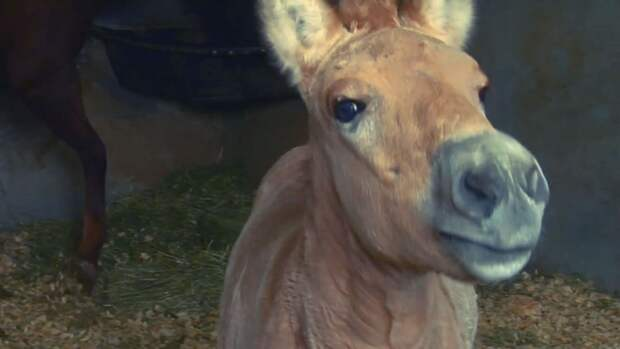 Жеребенка лошади Пржевальского клонировали в Техасе.