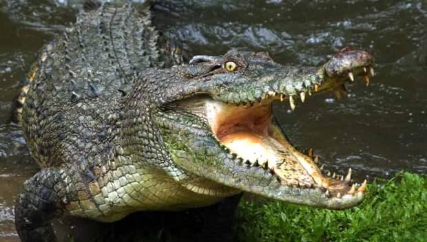 Крокодил разорвал баррамунди на глазах у гольфистов