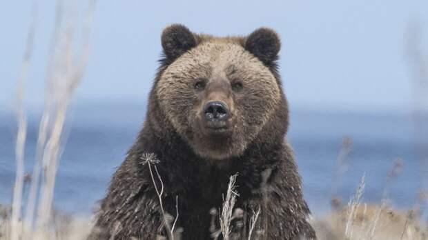 Ученые из Дании впервые воссоздали ДНК древнего черного медведя