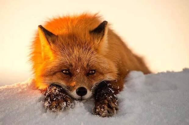 Непревзойденные портреты диких лис от горного инженера из Чукотки