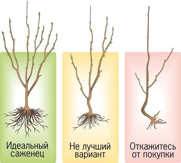 Выбираешь саженцы? Зри в корень! 5 советов, как купить деревца и кустарники хорошего качества