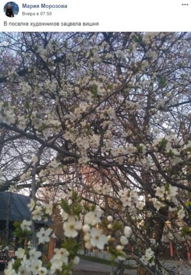 В поселке художников на Соколе расцвела вишня