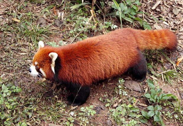 необычные животные рыжая панда