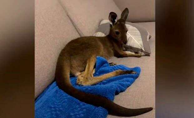 Маленький кенгуру живет с людьми и иногда ведет себя, как собака