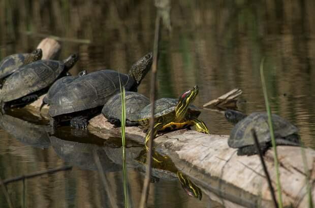 Красноухие и болотные черепахи рядом.