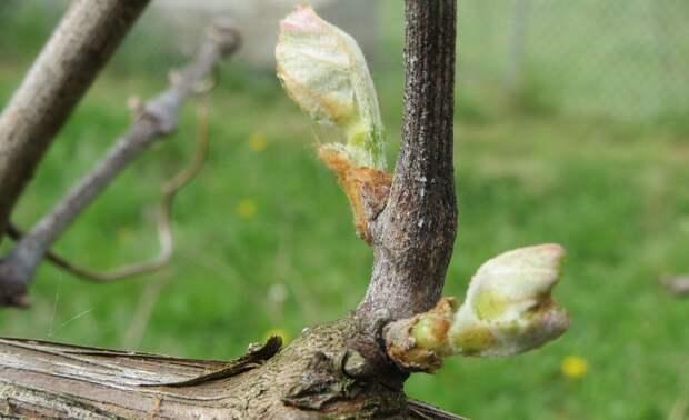 Обрезка винограда весной - правила и особенности