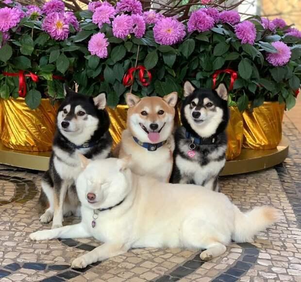 Хина — сиба-ину, которая всегда из принципа портит групповые снимки