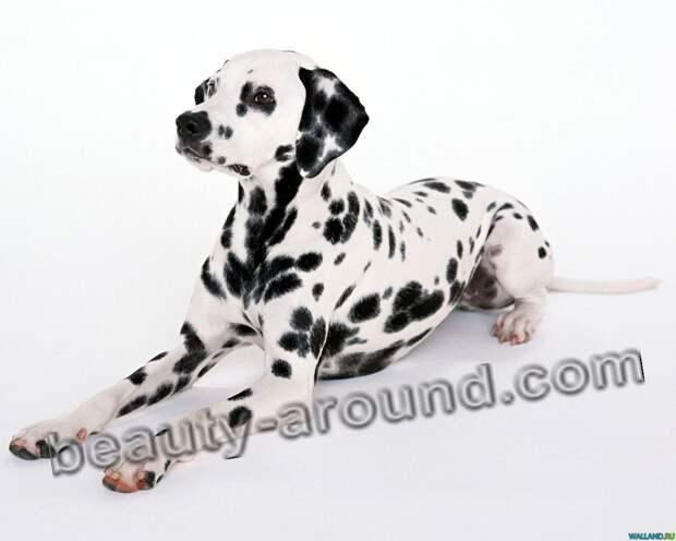 Далматин самые красивые собаки с выставок, породы собак с фотографиями