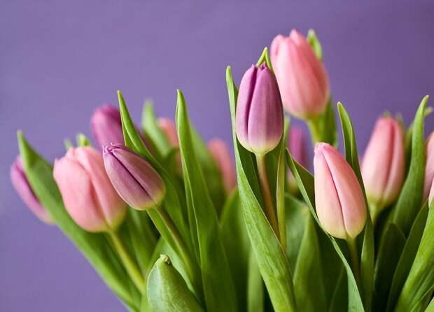 В Тимирязевке к 8 марта готовят сто тысяч тюльпанов