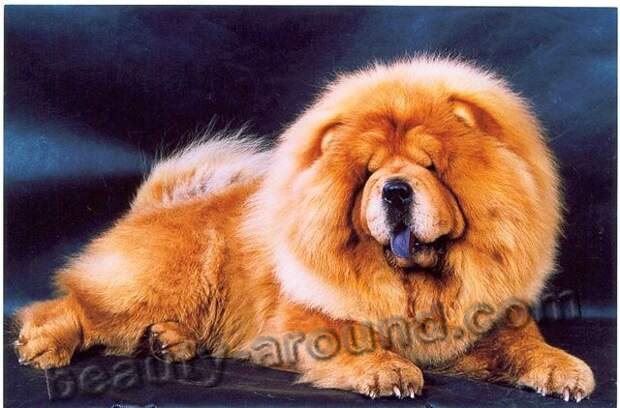 Чау-чау самые пушистые собаки, породы собак с фотографиями