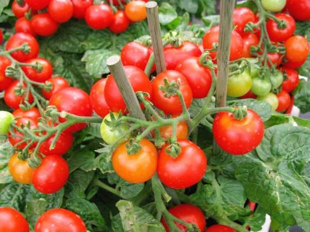 Почему мало помидоров на кусте?