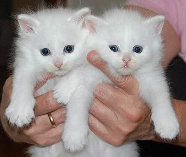белые очень пушистые котята в добрые руки : Звери. Объявления