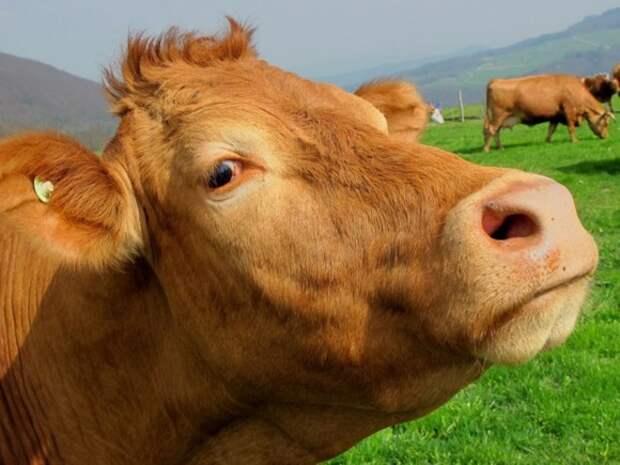 Властям нужно молоко, но не корова