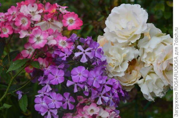 Пример удачного соседства. Мускусная роза Mozart, похожая на флокс, + шраб Rokoko с флоксом Синеющий Гаганова. Фото автора