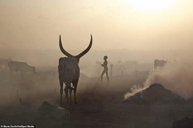 Африканское племя, которое использует коров в качестве валюты