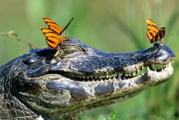 Бабочки, сидящие на голове у крокодила.