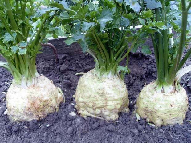 Хочу рассказать о своем опыте сохранения плодородия почвы