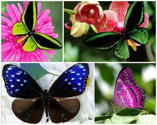 Есть бабочки, которые вовсе не питаются из-за отсутствия хоботка - они живут за счет энергии, которую накопили еще будучи гусеницами бабочки, интересное, красота, насекомые