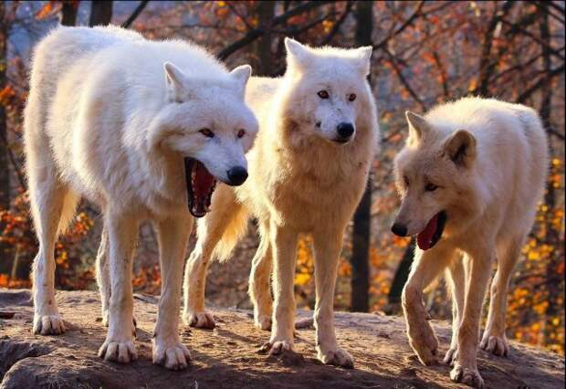Откуда взялся новый мем про смеющихся волков