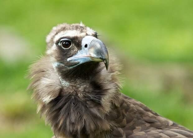 Орнитологи призвали запретить ветеринарный диклофенак в Европе ради спасения грифов