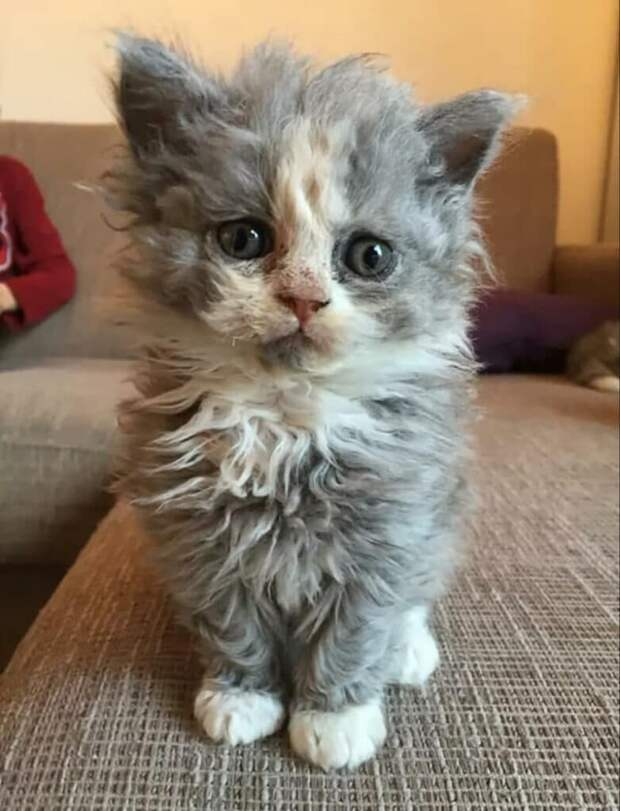 Котёнок породы лаперм пришёл к нам на садовый участок, как беспородный котик