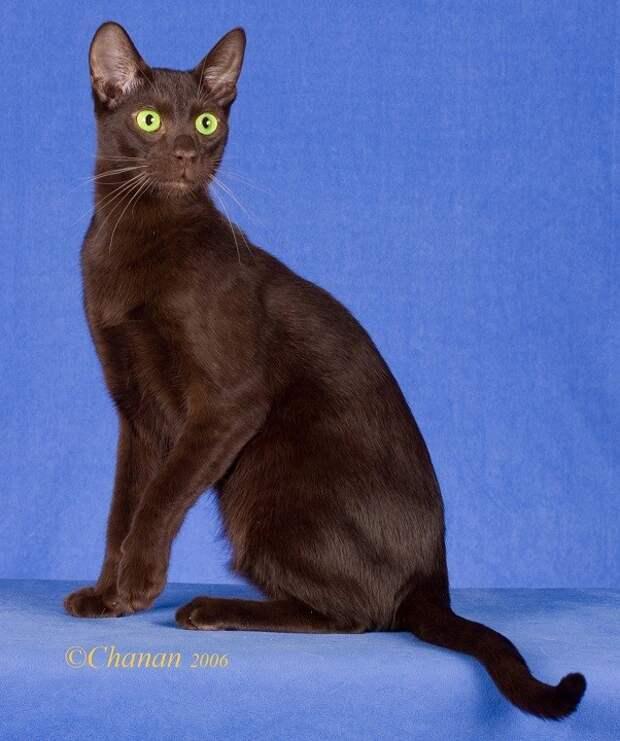 8 место. Гавана. домашние животные, кошки, породы кошек, самые редкие