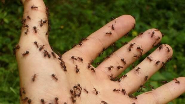 """Ученые нашли у муравьев """"свадебный обычай"""""""
