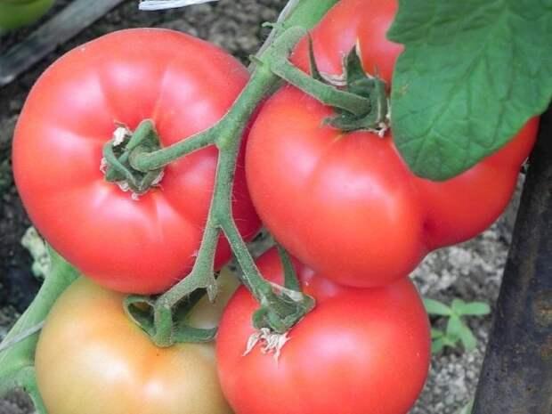 Как выращивать помидоры в холодное лето