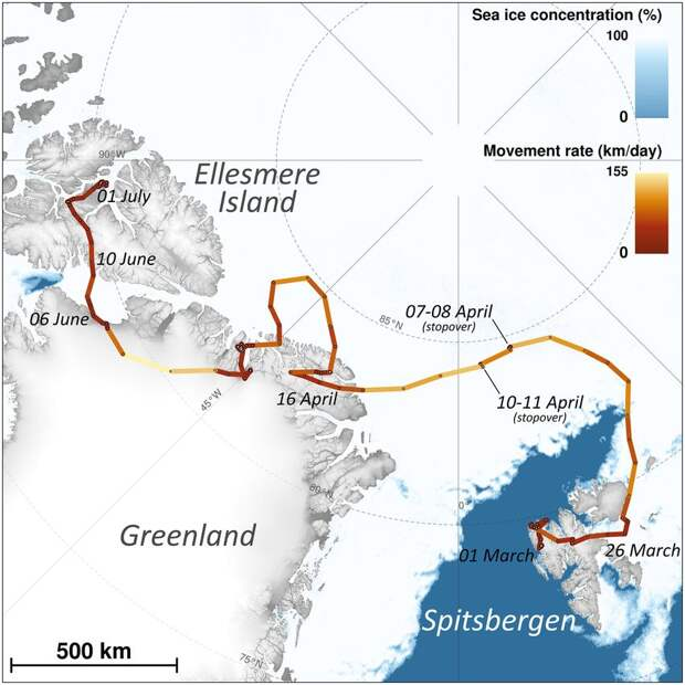 Анабазис песца по Арктике