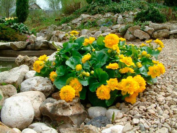 Многолетний садовый цветок Калужница (Caltha)